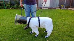 Black Labrador Bazz Is A Beekeeper Trained To Sniff Out Deadly Disease Wiping Out Hives. Look at his little shoes!