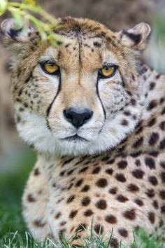 Portrait of one of the cheetah brothers