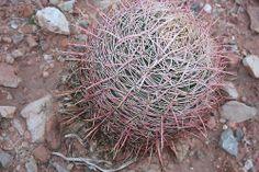 Cactus, Red Rock. Jan 2014