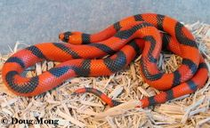 'Aberrant Tangerine Hypo' Honduran milk snake.