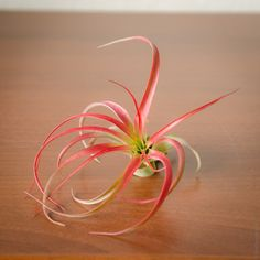 The Abdita Air Plant. Yes - they always have those vibrant hues of red!  Air Plant Worlds - Abdita Air Plant - $4