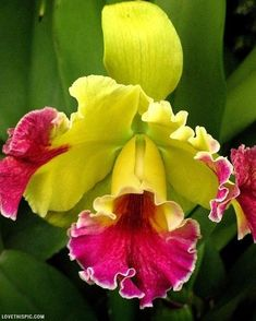 Cattleya Orchid flower pink tropical yellow exotic orchid cattleya