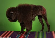 Bison Costume for dog