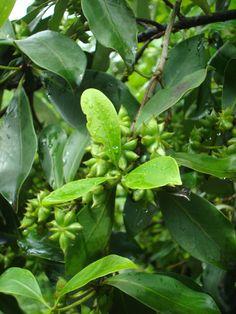 Illicium verum - Star Anise - seed pods