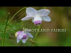 TOKYO. Woodland fairies of Mt.Mitake. #4K #御岳山 #レンゲショウマ - YouTube Relaxation Meditation, Woodland Fairy, Fairies, Tokyo, Pro Camera, Japan, Olympus, Kyoto, Plants