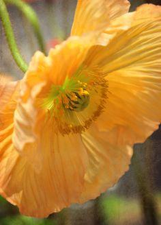 #Flowers | #flower | #Yellow Poppy