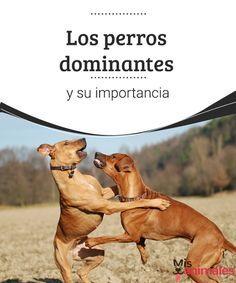 Los perros dominantes y su importancia Los perros dominantes pueden ser un verdadero dolor de cabeza. En este artículo compartimos algunos consejos para que puedas modificar su conducta.