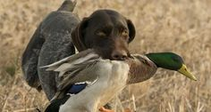 New York DEC Posts 2017-2018 Waterfowl Hunting Dates