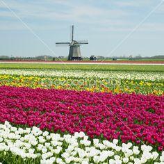 větrný mlýn s Tulipán pole poblíž sint-maartens-vlotbrug, Nizozemsko