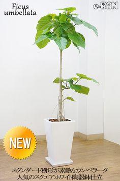 素敵な樹形の観葉植物 フィカス・ウンベラータ