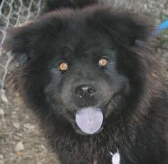 Gypsy is an adoptable Chow Chow Dog in San Gabriel, CA. Gypsy is estimated to be between 1 1/2 and 2 years old and, although she looks bigger because of her lovely Chow fluff, weighs just about 36 pou...