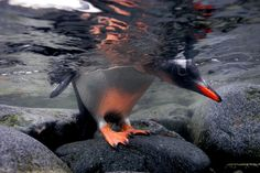 From impossibly fuzzy chicks to superfast divers, see some of our favorite National Geographic pictures of penguins in action. Coldest Place On Earth, Great Whale, Penguin Pictures, Gentoo Penguin, Seal Pup, Polar Animals, Marine Conservation, Underwater World, Antarctica