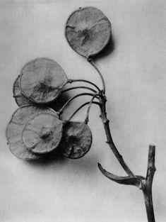 Karl Blosffeldt, Ptelea trifoliata, Hop-tree, branch w/ cluster of fruits