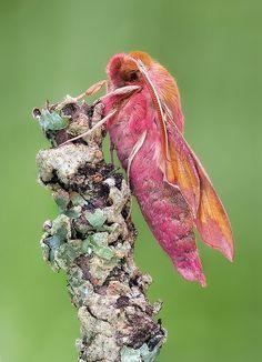 Elephant Hawk Moth by johnhallmen, via Flickr)