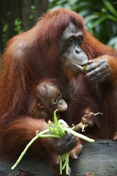 [CasaGiardino] ♡ Mother Orangutan...help protect her and speak out against the destruction of rain forests for the purposes Palm oil monocultures.