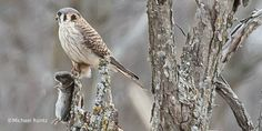 This female American #Kestrel is doubly lucky; she caught a Short-tailed Shrew and found a dead tree that might provide a nest site.