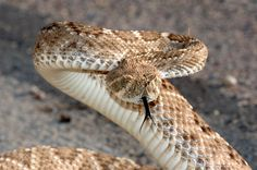 rattlesnake, baby rattlesnake, fact about rattlesnake, fact about baby rattlesnake , beautiful rattlesnake, amazing rattlesnake, venom, danger, dangerous animals, rattlesnake poison