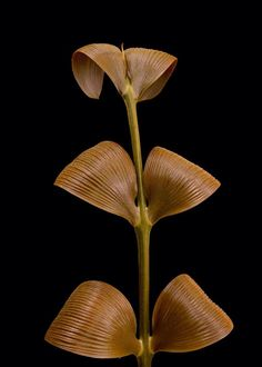 zamia nesophila seedlings dioon cycad zamia plants!