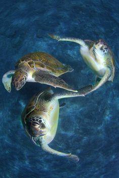 Synchronized swimming turtles