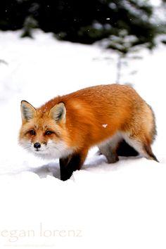 Red Fox by Megan Lorenz