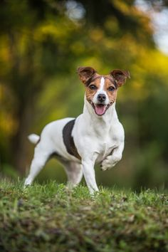 Jack Russell Terrier by Katrin Spanke - Photo 214033047 / 500px
