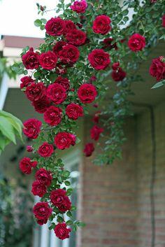 Red climbing Rambler rose