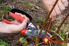 If you want to get two raspberries in the next season, do not cut the whole bush under the root Garden Park, Garden Hose, Garden Tools, Summer House Garden, Home And Garden, Vegetable Garden Design, Pruning Shears, Gardening Tips, Outdoor Power Equipment