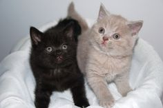 Ebony and Ivory :) British shorthair kittens http://le-domaine-de-chopin.fr/index.html