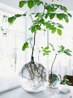 Indoor Garden Ideas - A Nest With A Yard vase like tanks with water plants on a tablevase like tanks with water plants on a table Hacks to growth plans. Source: Blossom 37 Indoor Water Garden Ideas That Refresh Your Interiors Plant In Glass, Glass Garden, Glass Vase, Glass Planter, Ivy Plants, Cool Plants, Plants In Jars, Ikebana, Plant Design