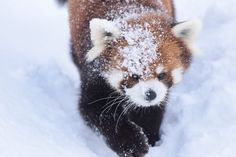 円山動物園 エイタ  Red pandas レッサーパンダ 小熊猫