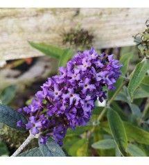 Buddleja Davidii Free Petite Blue Heaven I 2020 Sommerfuglebusk Blomster Blomstret