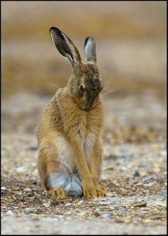 Wild Rabbit, Jack Rabbit, Hare Pictures, Animal Pictures, Animals And Pets, Baby Animals, Cute Animals, Beautiful Creatures, Animals Beautiful