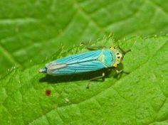 Cicadellidae - Cicadella viridis