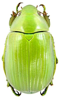 Chrysina costata