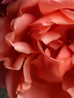 Pantone Color of the year Living Coral Coral Garden, Peach Aesthetic, David Austin Roses, Color Of The Year, Color Rosa, Coral Color, Coral Pink, Plant Care, Pantone Color