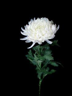 Crisantemo Pompón paq. 12 $90  Estos Precios están sujetos a cambios y disponibilidad del Producto.