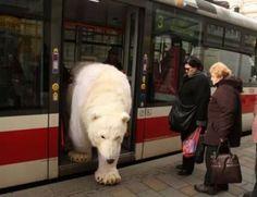 Polar Bear Getting Off Train