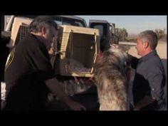 el encantador de perros - Criados con crueldad(5ªTemp.)(4de5)
