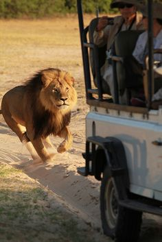 Meals on wheels! I do and don't want this to happen while on safari.  African Lion - Zimbabwe, Africa - photo by paulafrenchp