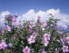 Shrubs Rose of Sharon Shrubs: Pruning and Growing Tips - Rose of Sharon shrub is a flowering bush, often thought of as a small tree, that comes in many cultivars. Learn how to grow it and prune it. Flower Landscape, Summer Landscape, Garden Shrubs, Garden Plants, House Plants, Rose Of Sharon Tree, Hibiscus Bush, Growing Hibiscus, Garden Front Of House