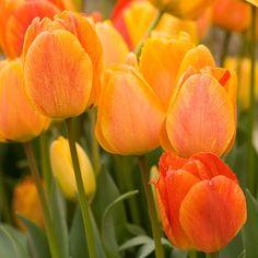 Darwin hybrid tulip - 5 Best Bulbs to Plant in Fall - Sunset