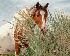 Assateague-Chincoteague Ponies by Laurie Arends Wild horse photography Horse Hay, Horse Love, Most Beautiful Animals, Beautiful Horses, American Islands, Chincoteague Ponies, White Horses, All Gods Creatures, Equine Photography
