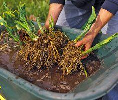 How To Divide Hostas In The Garden Hosta Plants Lawn Garden