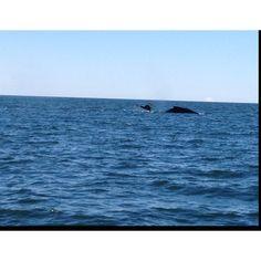 Humpback Whale, Kachemak Bay, AK
