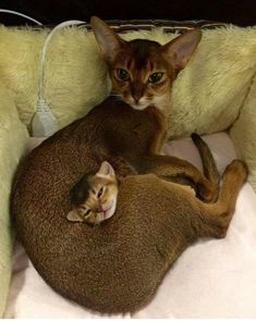 best images, pictures and photos ideas about abyssinian kitten - most affectionate cat breeds - Tap the link now to see all of our cool cat collections! Cute Kittens, Cats And Kittens, Beautiful Cats, Animals Beautiful, Cute Baby Animals, Animals And Pets, Animal Babies, Funny Animals, Cool Cats