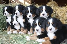 We currently have 9 new rolly polly fluffy Bernese Mountain Dog puppies for sale raised on the Sweetwater Farms ranch. Champion bloodlines on all sides...