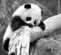 A little baby Panda bear climbing a tree<3