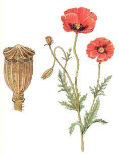 Amapola ( PAPAVER RHOEASL )
