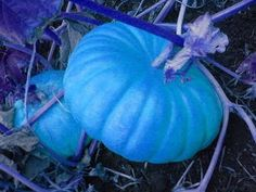 Very Rare Jarrahdale Blue Pumpkin Seeds!    7 Seeds in a Pack! These seeds were grown by me and I have germinated 9 out of 10 in a test. I grow