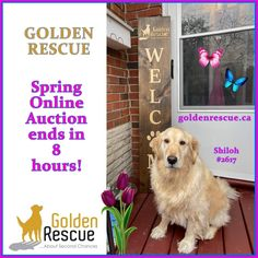 Golden Events, Shiloh, Rescue Dogs, Gifts For Mom, You Got This, Auction, Spring, Fun, Appreciation